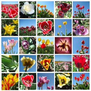 zdjęcia tulipanów